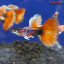 Casal Guppy Hb Red Gold Big Dorsal (criado)