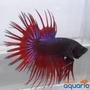 Betta Red Dark Crowntail
