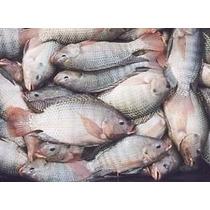 Fórmula Ração Para Peixe Larva Alevino Engorda