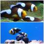 Peixe Para Aquário Marinho - Ocellaris Saddleback / Casal