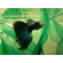 Guppy Half Black (hb) Blue Neon