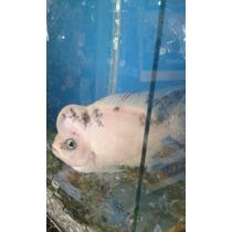 Peixe Ciclídeo 17cm Flower Horn