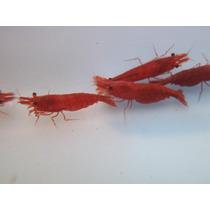 Camarão Red Sakura Pacote Com 10 Camarões (criado)