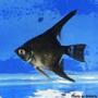 Peixes Ornamentais - Diversas Espécies (criado)