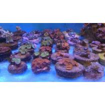 * Corais - Pacotão Com 6 Colônias Coral Zoanthus Importados*