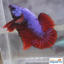 Betta De Linhagem - Blue Pacific Dragon Ohm Pk