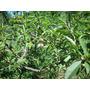 Serragem Madeira Para Defumar Alimentos - Pessegueiro - 1 Kg