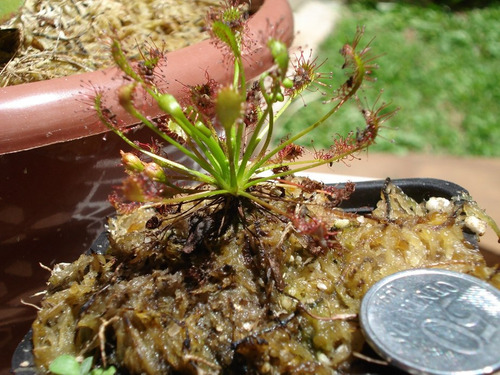 Planta Carnívora Droseras Adultas Muitas Variedades