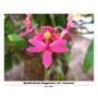 Mudas De Epidendrum Ibaguense (var. Rosa)