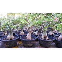 Adenium Obesum Adultas, Rosa Do Deserto