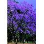 Jacarandá Mimoso (jacaranda Mimosifolia)-01 Muda Só R$ 24,79