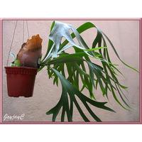 Chifre De Veado Regina/platycerium Regina - Plantada Na Cuia