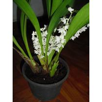 Muda Orquídea Eria Hyacinthoides - Adulta - Raríssimas######