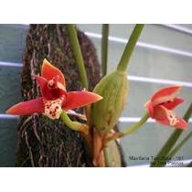 Muda De Orquídea Maxilaria Tenuifolia Com Flores 25,00