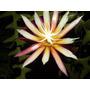Mudas De Dama Da Noite Sianinha Cryptocereus Epiphyllum