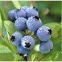Muda De Blueberry ( Mirtilo) Adultas, 60 Cm, Já Produz ###