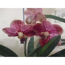 Orquídea Vanda Adulta Com Flores - Mudas Com 3 Anos, Lindas.