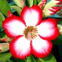 Muda De Rosa Do Deserto Adenium Cor Sortida Com Aproximadame