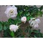 Mudas Rosa Spray- Novidade - Lindas Flores Branca - 40cm !!!