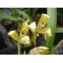 Orquideas Maxillaria Picta-mudas Adultas