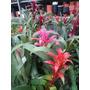 1 Bromélia Guzmânia Colorida Ja Com Flor Em 4 Cores