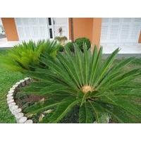 Palmeira Cica Revoluta 20 A 30 Cm