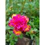 3 Mudas De Onze Horas Dobrada Neon, Portulaca Grandiflora