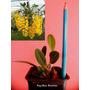 Dendrobium Agregatum - Uma Raridade De Espécie De Orquídea!!