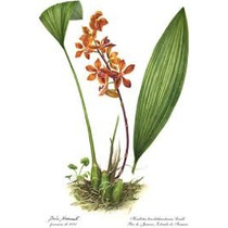 Orquidea Houlletia Tigrina