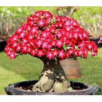 Rosa Do Deserto - Flor Do Deserto - Adenium - Muda De Flores