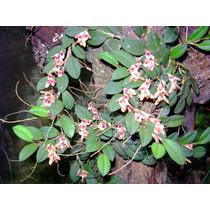 Micro Orquidea Acianthera Recurva (pleurothallis Recurva)