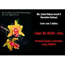 Orquídea - Blc. (saint Helena Sound X Hawaiian Galaxy)