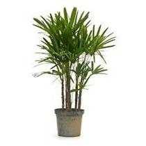 Planta Palmeira Rafis 3 Hastes