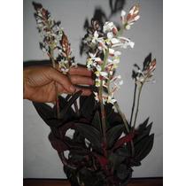 Orquídea Terrestre Ludisia Discolor - Vaso Ou Jardim. ######