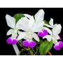 Orquidea Cattleya Walkeriana Semi-alba