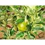 Muda Enxertadas De Limão Imperial R$ 45,00- Já Produtiva