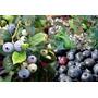 Mudas De Mirtilo - Blueberry - Já Produzindo!!!