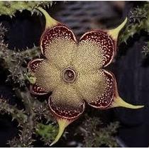 Cactos- Edithcolea Grandis- Suculentas - Plantas
