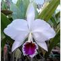 Orquidea Cattleya Percivaliana Semi Alba Farah Diba Adulta