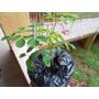 Moringa Oleifera - 05 Estacas Para Rápido Crescimento