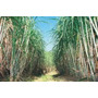 Muda De Cana Verde De Usina De Açúcar