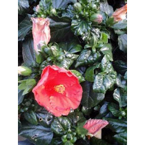Mudas De Hibisco Ja Plantados Em Vasos 30 A 60 Cm De Altura