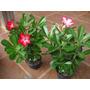 Mudas De Rosa Do Deserto Com 35cm, Ideal P Bonsai, Foto Real