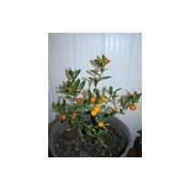 Bonsai De Laranja Kinzu, Rarissimo, C/ Frutos *bonsai Junio*