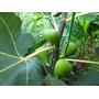 Mudas De Figo Roxo Com Frutos. Exclusivo *bonsai Junior*