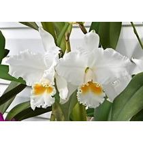 Mudas De Orquidea Cattleya Labiata Lindley Var. Alba