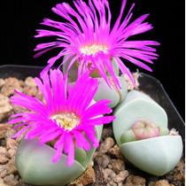 Cactus Argyroderma E Lithops (5 Sementes De Cada) Rosa Cacto