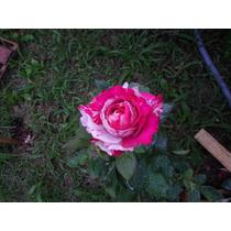Rosas Kit Com Príncipe Negro+rosa Gigante+ Rosa Amarela