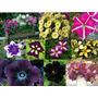 10 Sementes De Petúnia - Frete Grátis/orquídea/muda/raridade