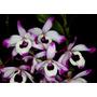 Mudas De Orquídea Dendrobium Nobile (olho De Boneca)